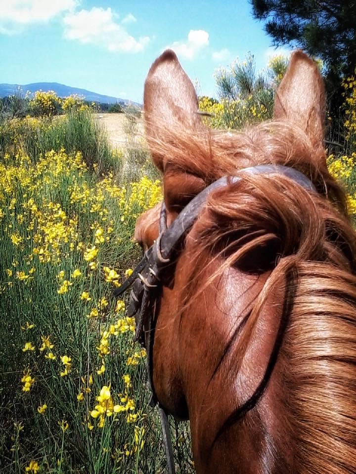 Ginestre cavallo